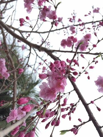 桜色の作務衣ありますよ